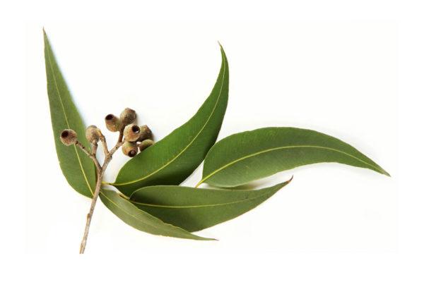 aetherisches Öl Eukalyptus Planze