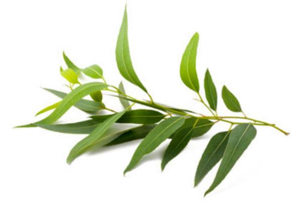 aetherisches oel eukalyptus 02